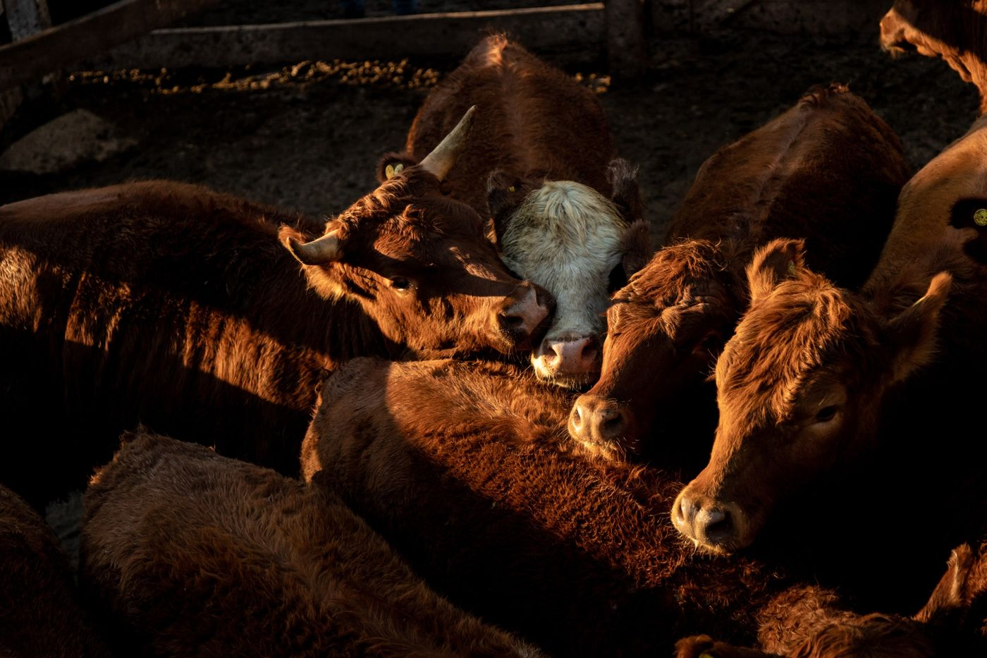 Imagen Argentina's 120-Year-Old Cattle Auction Is Leaving Buenos Aires